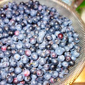4日ぶりのブルーベリーの収穫