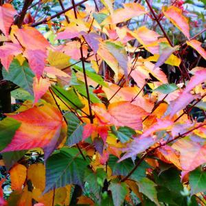 屋久島尾長楓の紅葉