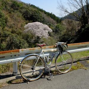 清坂の谷の主 無名の山桜