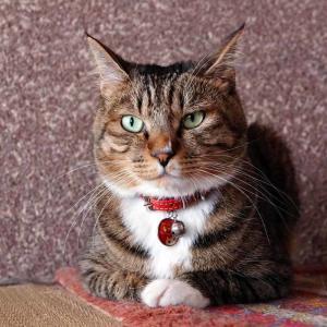『おすし♂』成長記録 52ヶ月目のまとめ #ネコ #キジトラ #靴下猫