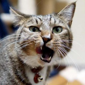 『おすし♂』蔵出し大放出 Part3 【ネコ】【キジトラ】【靴下猫】