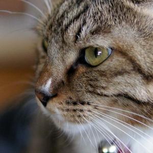 『おすし♂』蔵出し大放出 Part4 【ネコ】【キジトラ】【靴下猫】