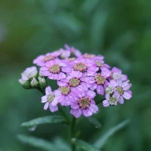 雨上がりは、庭でお花の撮影会【MAMIYA】【2020ガーデン日記(6)】