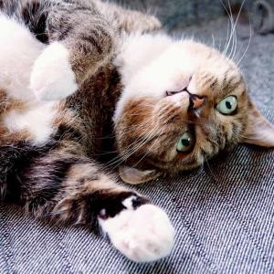 『おすし♂』成長記録 62ヶ月目のまとめ #ネコ #キジトラ #靴下猫