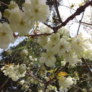 黄色の桜 御衣黄が咲き始めました。
