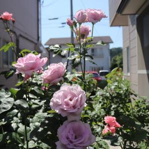 薔薇~わかな プリンセスアレキサンドラオブケント レディオブシャーロット ブルームーン