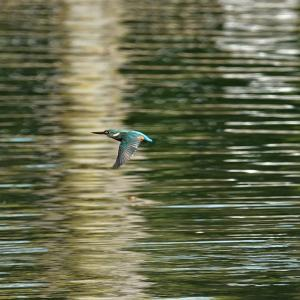 水面を飛ぶカワセミ
