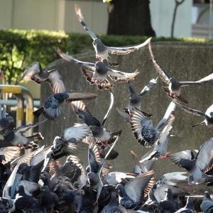 必死に餌を求めるハト