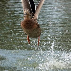 マガモの飛び出しから着水