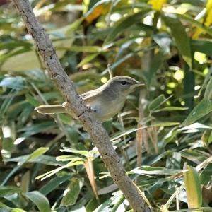 水生植物園で地鳴きするウグイス