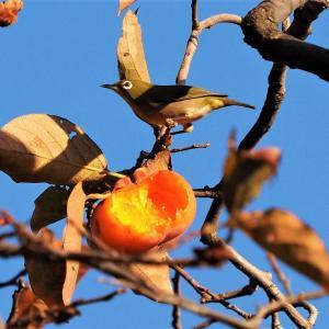 柿を啄むメジロ