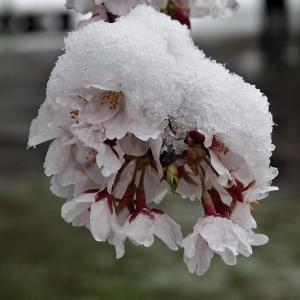 雪に覆われた浮間公園のサクラ