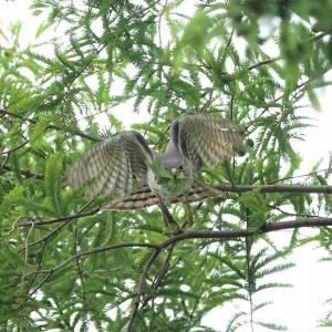 枝を運ぶツミのメス
