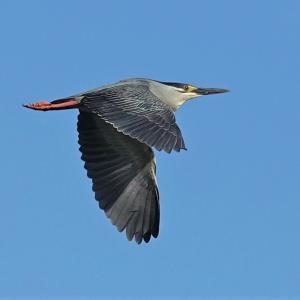 浮間公園で優雅に飛ぶササゴイ