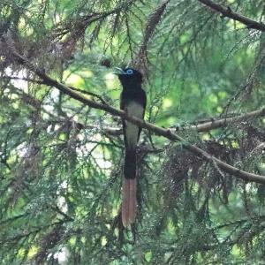 八王子城址公園で観察したサンコウチョウ