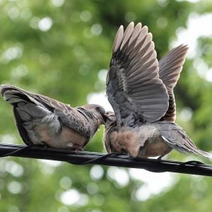 餌をねだるキジバトの幼鳥と親鳥