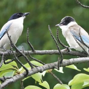 公園で元気に飛び交うオナガの幼鳥