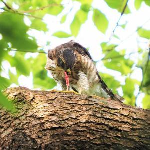 親鳥からもらった餌を啄むツミの幼鳥