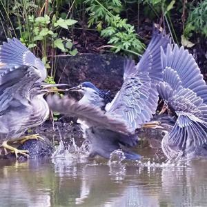 親鳥に群がるササゴイの幼鳥