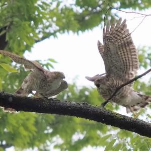 枝をひっぱったり元気に遊ぶツミの幼鳥