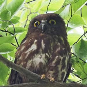 千葉県の公園で観察した営巣を見守るアオバズク