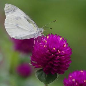 千日草の蜜を吸うモンシロチョウ