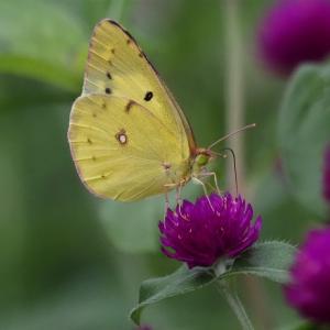 千日草の蜜を吸うモンキチョウ