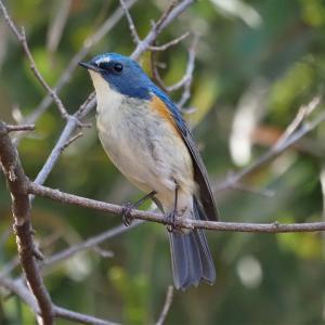 幸せを呼ぶ青い鳥「ルリビタキ」