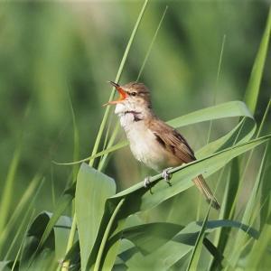 大きな声で囀るオオヨシキリ