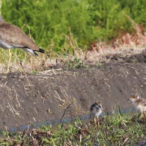 畦を登り切るケリの幼鳥