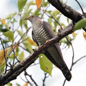 桜草公園で観察したツツドリ