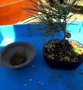 松の盆栽、植替えと初の剪定!