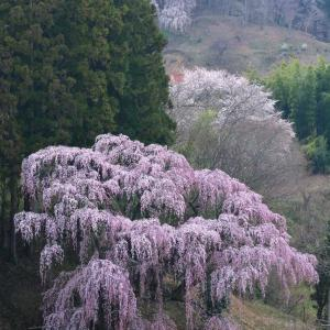 幽棲、三春町福聚寺の桜