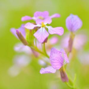 アザキ大根の花咲く太郎布高原でワラビ採り