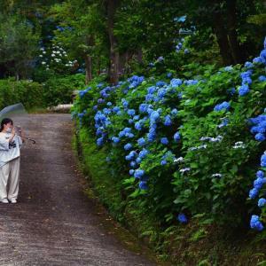二本松市あじさい寺、花ありません