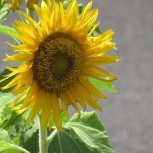 ひまわり(向日葵)日輪草 サンフラワー
