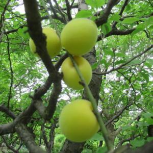 梅の実黄ばむ(うめのみ きばむ)七十二候