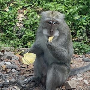 穴場スポット、お猿の住む静かな森林と寺院「Alas Kedaton」