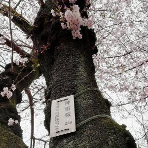 靖国神社さくらまつり/御神門を入って右の二番目の桜の木