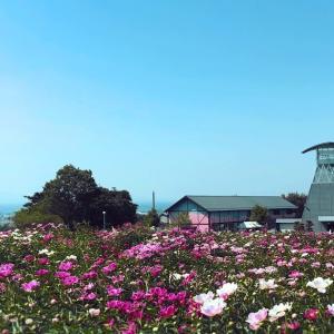 色麻町 満開の芍薬 愛宕山公園 シャクヤクまつり へ行ってきました