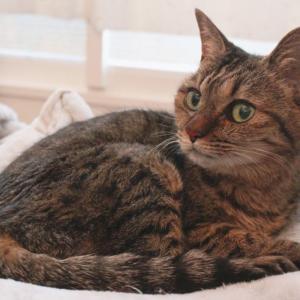 愛猫しじみが拡張型心筋症に・・余命宣告されてしまいました。