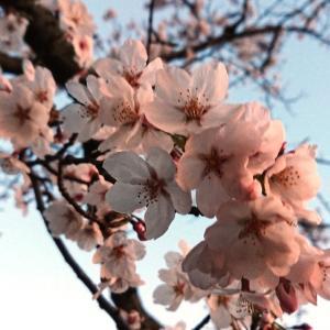 今日は晴天 桜の花がキレイに見れました花見最高~♪コーヒーゼリー~♪