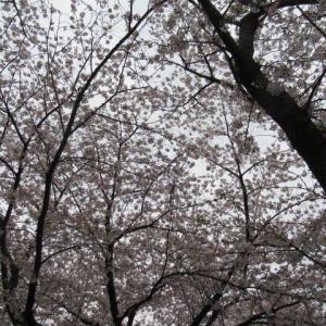3月28日 お花見