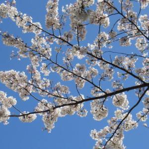 3月29日花日和 お花見