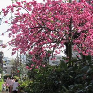 3月29日花日和 花桃、木蓮、躑躅