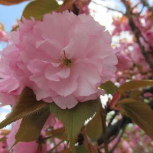 4月3日お花見