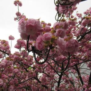 4月4日 八重桜、桜蘂降る