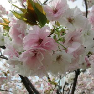 4月8日 花散歩・八重桜続