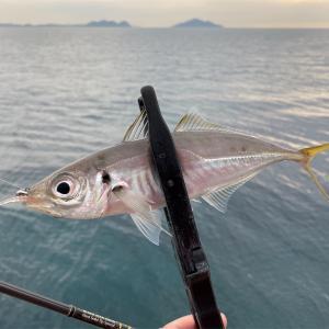 今日もアジを釣るよ。
