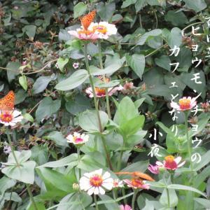 百日草の蝶で